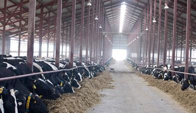 Коровы дороже миллиарда