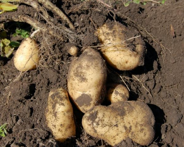 Конец картофеля. Если не консолидировать усилия по борьбе с заболеваниями картофеля, это растение может вскоре исчезнуть