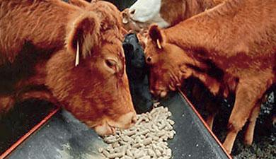 Коров кормят «защищенным белком»