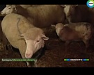 Сириец возрождает белорусское овцеводство