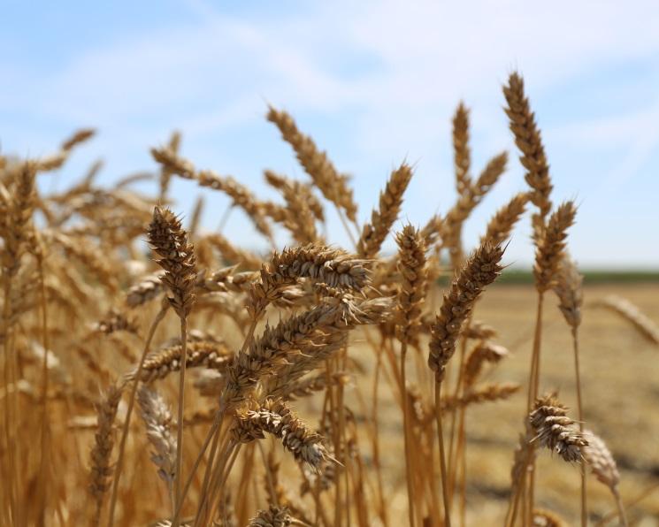 IGC повысил прогноз российского урожая зерна до124,5 млн тонн