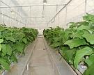 «Эко-культура» купит тепличный комбинат вЛенинградской области
