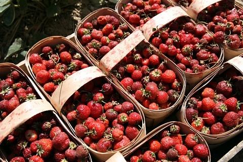 Клубничный сезон: регионы увеличивают производство ягоды