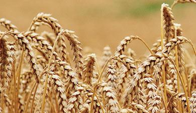 Новый урожай: исторически неплохо