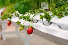 Производство ягод в закрытом грунте может вырасти в 3,5 раза