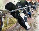 Надои молока продолжают расти