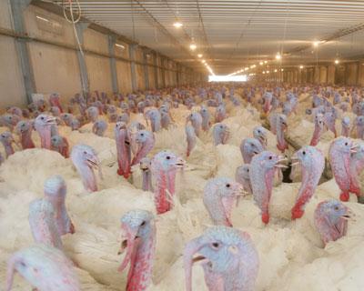 Птицефабрика «Восточная» открыла производство мяса индейки