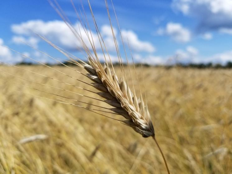 Пшеница подорожала дотрехлетнего максимума