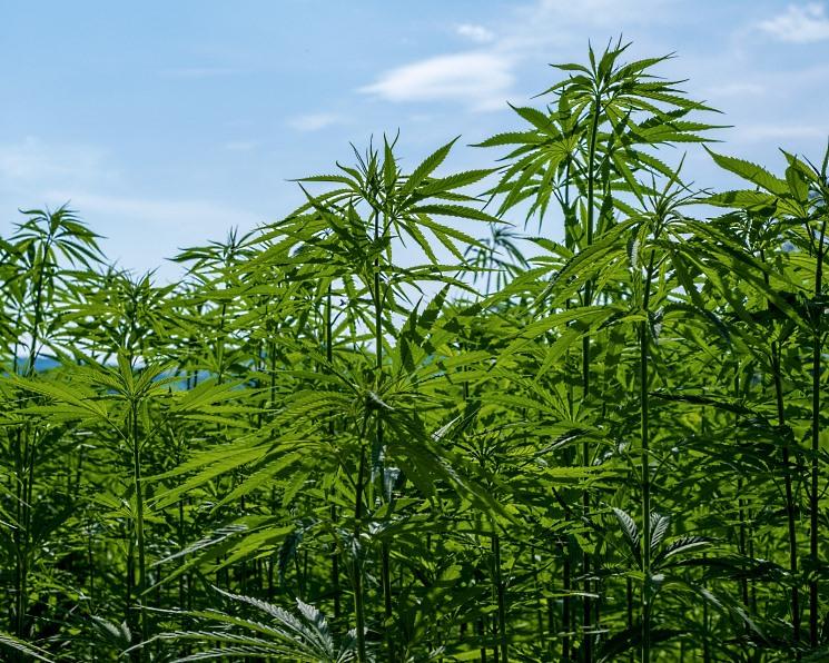 Смотреть фотки конопли как ведут себя люди под марихуаной