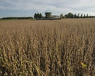 Аномальная жара в августе может ухудшить урожаи сои, кукурузы и сахарной свеклы