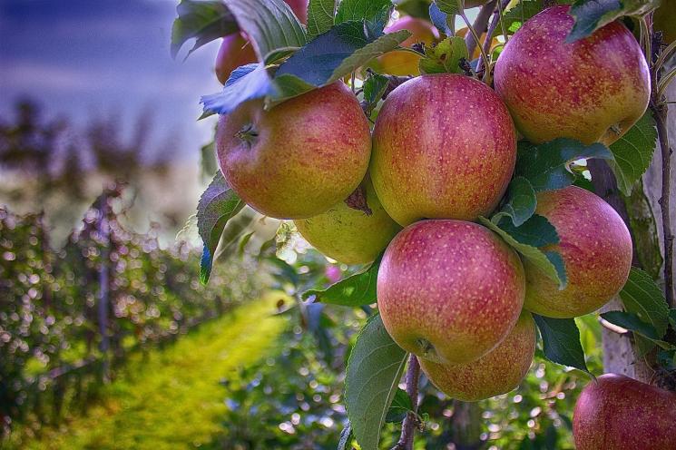Производство яблок может снизиться на20%