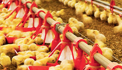 Цыплячьи старты