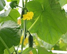 Сбор тепличных овощей вырос на 20%