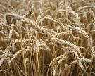Правительство планирует ввести пошлину на экспорт зерна