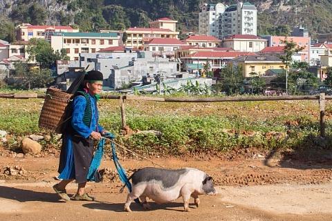 Чума свиней продолжает расширять географию
