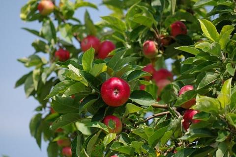 Производство яблок в этом году вырастет на 150 тысяч тонн