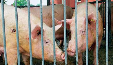 Ввоз живых свиней вырос в7 раз