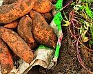Батат оказался «натуральным ГМО»