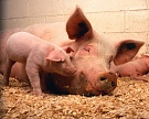 Производство мяса увеличится на 3,5-4%