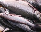 В Приморье создадут рыбный кластер