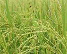 ВТО добавит проблем рисоводам иживотноводам