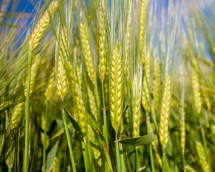 Урожай пшеницы вэтом году может снизиться на9 млн тонн