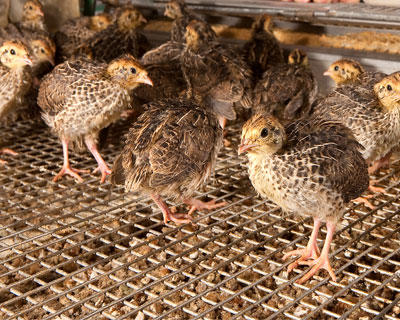 ВЧечне появился производитель перепелиных яиц