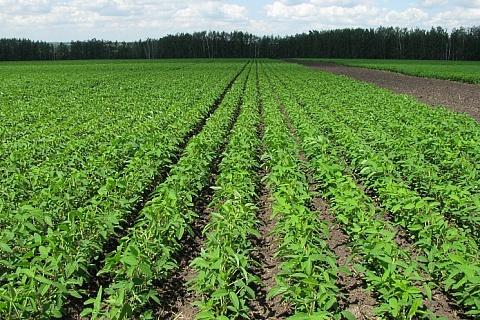Посевы сои могут превысить 3 млн гектаров