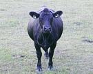 «Агрокомплекс» им.Ткачева запустил производство мраморной говядины