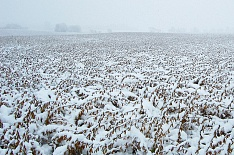 Снегопад остановил уборку сои в Приамурье