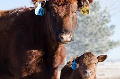 Сектор мясного скотоводства вырос всемь раз