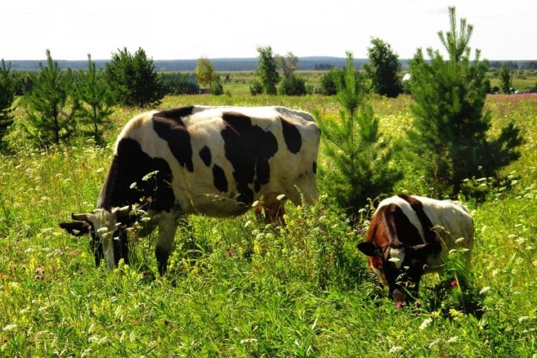 Коров у населения оказалось на 300 тысяч меньше