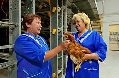Воронежская птицефабрика закрывается после гриппа птиц
