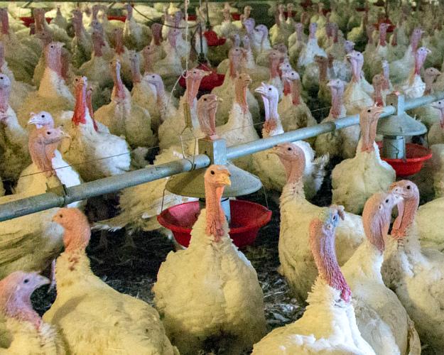 Россельхознадзор проверяет зауральские птицефабрики имагазины наптичий грипп, А (H5N1)