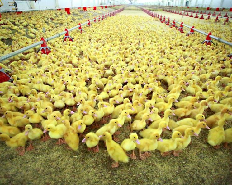 Утиная история «Улыбино». Комплекс по выращиванию утки будет построен в Новосибирской области