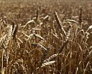 Урожай зерна в «Агро-Белогорье» превысит 380 тыс. тонн