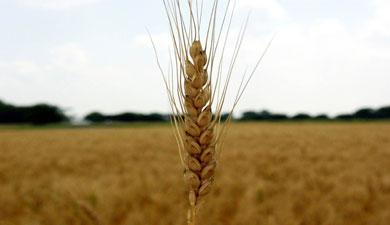 Прогноз валового сбора зерна снижен на5 млн т