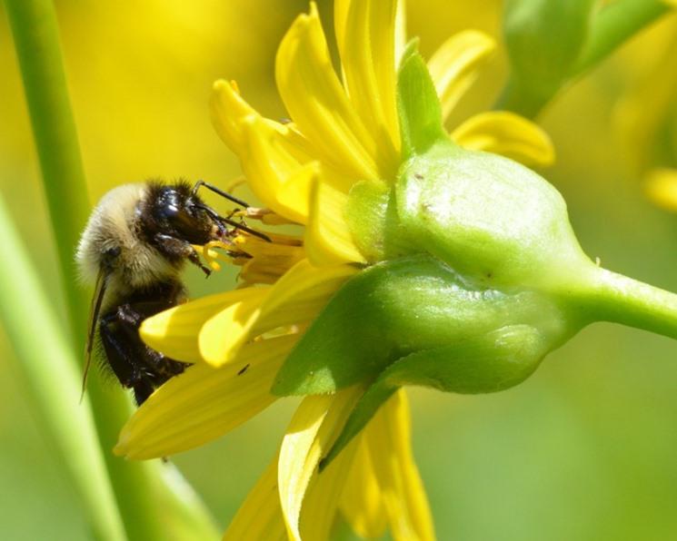 Мухи заменяют пчел при опылении растений в Арктике