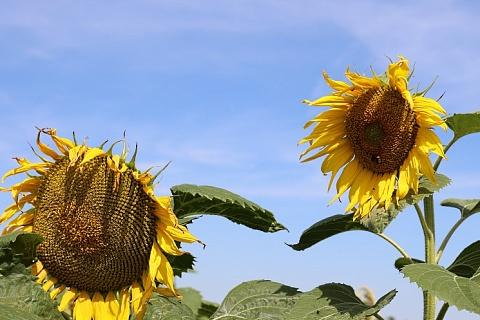 Урожай подсолнечника может обновить прошлогодний рекорд