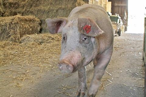 На Дальнем Востоке выявлена чума свиней