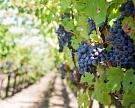 Агрофирма «Южная» стала лидером посбору винограда вКраснодарском крае