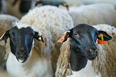 «Мираторг» удвоил стадо овец