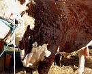 ВСвердловской области началось формирование плембазы коров породы Герефорд