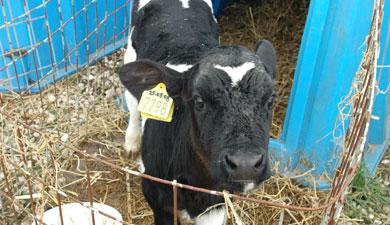 Алтайские ученые «прошивают» бычков йодом