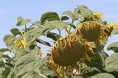 Урожайность подсолнечника превысила прошлогоднюю