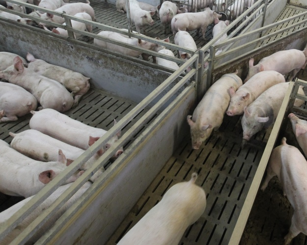 Камский бекон построит свинокомплекс несмотря на протесты  Возведение СГЦ должно начаться в апреле