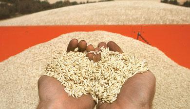 Каким будет новый урожай