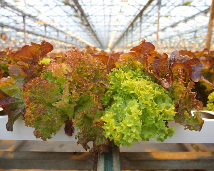 «Выборжец» увеличит производство салатов и зелени в Ленинградской области
