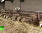 Франция компенсировала 2млневро овцеводам за действия волков