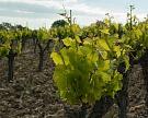 Крым заложит 500 гектаров виноградников в 2016 году